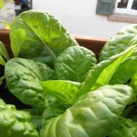[:de]Salat auf dem Fensterbrett[:en]Window farming: Salad