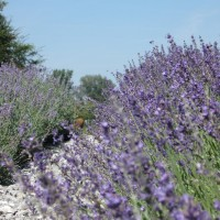 [:de]Lavendel[:en]Lavender