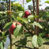 [:de]Spalieräpfel[:en]Wall fruit