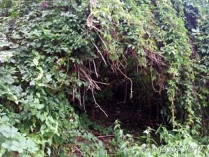Holunderbusch, von Schlingpflanzen überwuchert