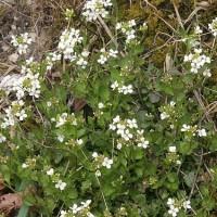 [:de]Kriech-Schaumkresse, Arabidopsis halleri (Quelle: Wikipedia)[:en]Arabidopsis halleri (Source: Wikipedia)