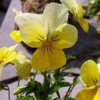 Das gelbe Galmeiveilchen (Quelle: Wikipedia, Photograph: Friedrich Holtz)