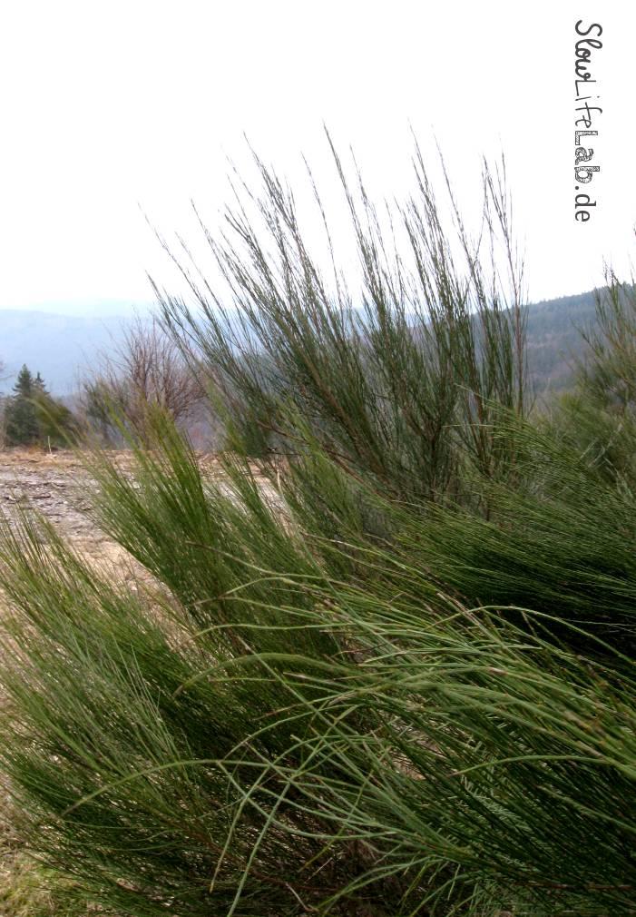 Winterlicher Ginster oder Besenginster (Cytisus scoparius)