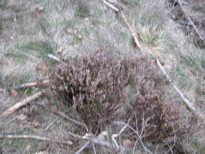 Beweisfoto: Am Greiner Eck wächst Heidekraut