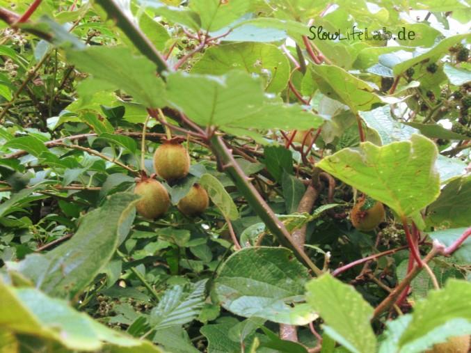 Regional und komplett bio: Kiwis und Brombeeren aus dem Garten